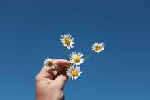 Close-up Of Beautiful Woman Holding Daisy Flowers