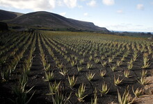 Aloe Vera Plants Growing On Farm