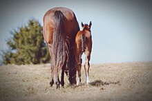 Rear View Of Horse With Foal