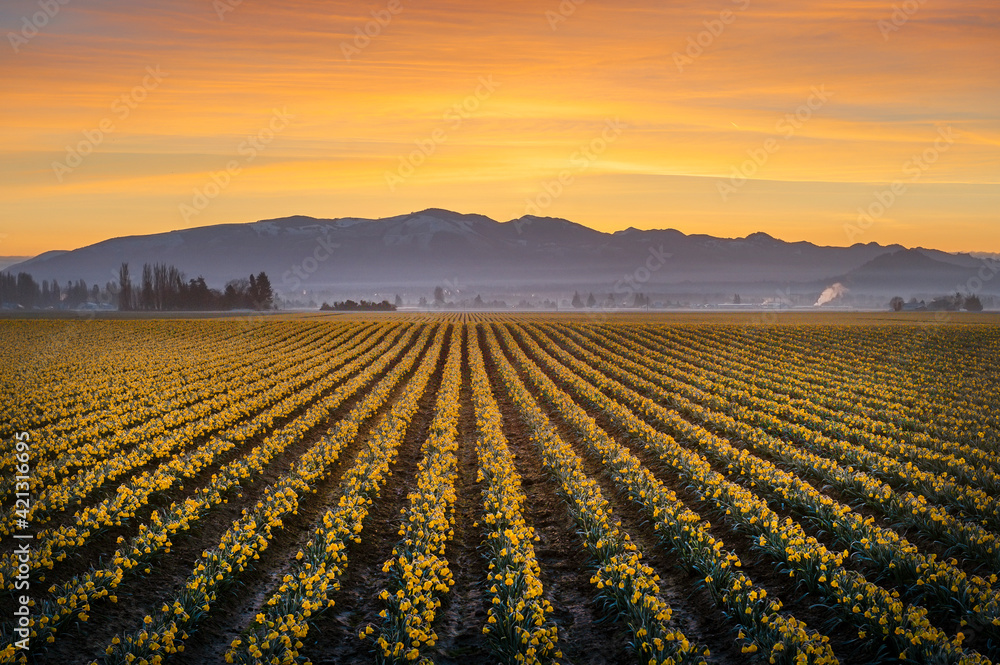Fototapeta Daffodil Rows in the Skagit Valley at Sunrise. Beautiful morning light illuminates the agricultural daffodil fields in springtime splendor in the Skagit Valley famously known for its tulip festival.