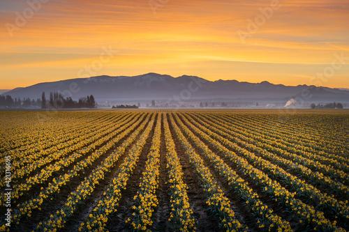 Daffodil Rows in the Skagit Valley at Sunrise Fototapeta