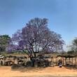 Jakaranda fioletowe drzewo