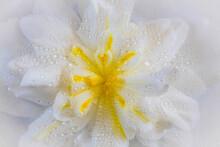 USA, Washington State, Seabeck. Dew-covered Begonia Close-up.