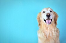 Cute Golden Retriever Dog Smiling Isolate On Blue Background.