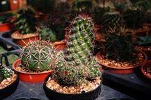 Cactus, Desert Plant To Decoration Plant