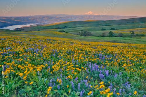 Fototapeta USA, Washington State. Wildflowers bloom in Columbia Hills State Park. obraz