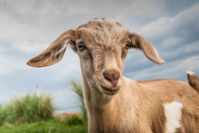 Close-up Portrait Of A Goat On Field