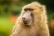Baboon Head Shot