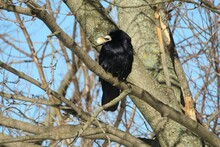 Raven On A Tree With Bread In Beak, On Natural Sky Background