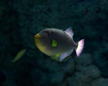 Triggerfish Fish In A Deep