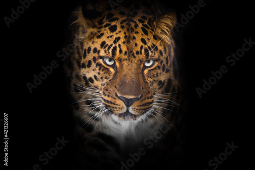 Fotografia Serious direct gaze of a leopard from darkness, full face portrait close up symm