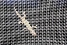 Lizards On A Mosquito Net