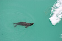 Seal Swimming In Tracy Arm Fjord, Alaska.