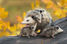 Virginia Opossum (Didelphis Virginiana) Mother With Joeys Mouth Open Turned Left Autumn