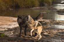 Grey Wolves (Canis Lupus) Tussle On Rock On Side Of River Autumn