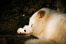 White Sleeping Fox