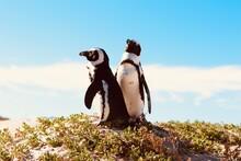 Penguins In Bouldersbeach