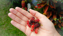 Midsection Of Person Holding Red Mulberry