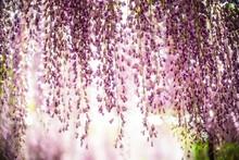 Close-up Of Purple Wisteria Flowering Plants