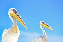 Low Angle View Of Pelicans Against Blue Sky
