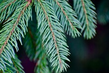 Close-up Of Evergreen Tree Needles