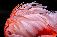 Pink Flamingo Plumage On Fire