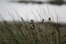 Goldfinch Perching On Plant In Field Against Sky