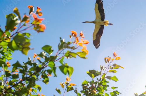White Stork overhead Fototapet