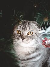Scottish Fold Cat Under The Christmas Tree