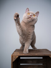 Playful 6 Month Old Lilac British Shorthair Kitten Standing On Wooden Crate  Lifting Paw Looking Up