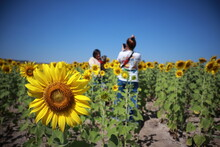 Sunflowers On Field Against Clear Sky
