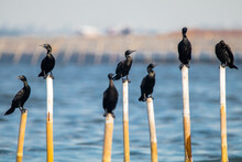 A Group Of Cormorant In Poles