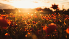 View Of Flowering Poppy On Field During Sunset