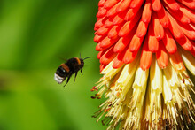 White-tailed Bumblebee Or Bombus Lucorum Hovering Near A Red Hot Poker Flower