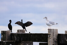 Seagull And Cormorants Perching On Wooden Post