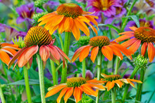 Orange Coneflower With Backdrop Of Purple Painted Tongue.
