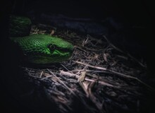 Close-up Of Green Venomous Snake Head