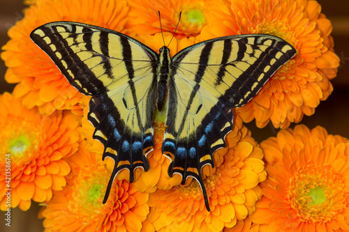 Fotografie, Obraz Three-tailed swallowtail butterfly female on orange gerber daisies