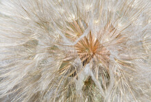 Seedhead Of Yellow Salsify, Eastern Washington