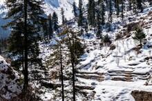 Snow Covered Trees In Forest In Parvati Valley, Tosh, Himachal Pradesh