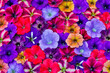 Leinwandbild Motiv Variety of Petunia flowers in pattern, Sammamish, Washington State.
