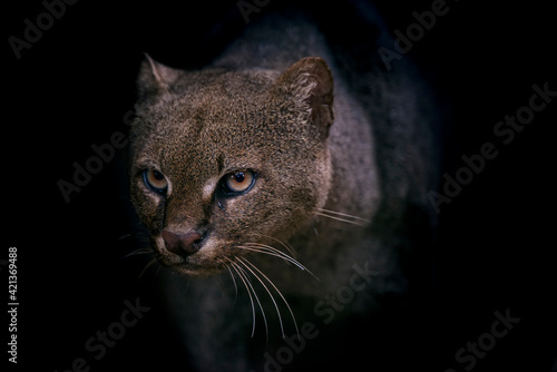 Fotografie, Tablou Jaguarundi photographed in captivity in Goias