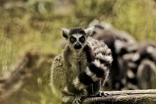 Relaxing Lemurs In The Sun