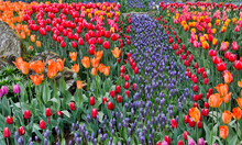 Spring Tulip Garden In Full Bloom With Grape Hyacinths, Skagit Valley, Washington State.