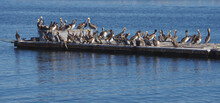 A Floating Dock In In The Calm Blue Water Of The Southern California Harbor Of Santa Barbara Occupied By A Large Colony Of Brown Pelicans