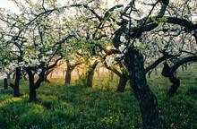 Apple Tree Plantation In Backlit.