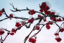Branches Full Of Red Flowers And Snow With Moon  On Background