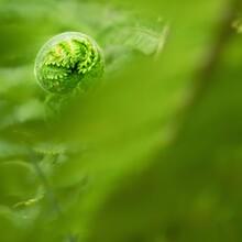 Nephrolepis Exaltata The Sword Fern. Fresh Green Fern Bush In Detail, Looking Into Bush Of Fern