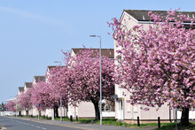 Street In Sun With Row Of Buildings And Cherry Trees In Full Bloom