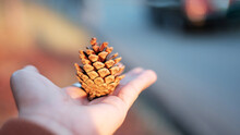 Close-up Of Hand Holding Pine Cone